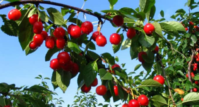 La Unió estima pérdidas  de 7,7 millones de euros en la cosecha de cerezas en la provincia