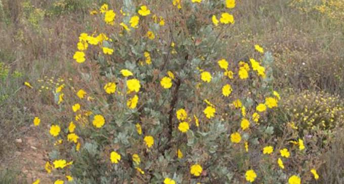 Recuperación de la jara blanca en la Sierra de Salinas