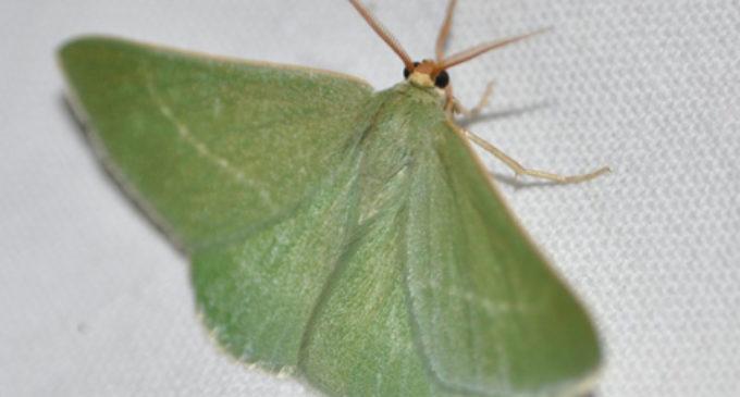 Salvatierra identifica 30 especies de mariposas nocturnas
