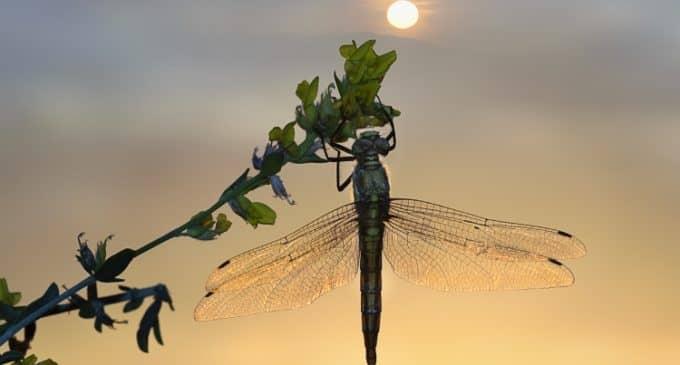 María José Tarruella Rodenas, segundo premio de fotografía de libélulas en el Memorial Toni Estany.