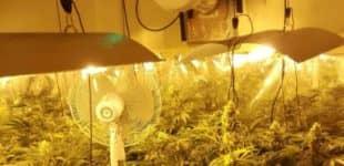 Desmantelan una plantación de 'maria' en Villena por las quejas debido al fuerte olor