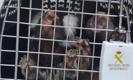AAP Primadomus mantiene en sus instalaciones a un mono verde de Guinea decomisado en la operación Titisali