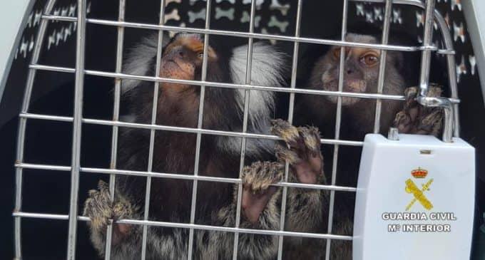 La Guardia Civil busca en Alicante 42 monos titís por el riesgo de que tengan el VIH