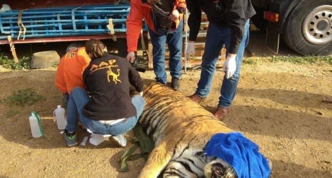"""AAP Primadomus rescata dos leones y un tigre del Circo Francia en  """"penosas condiciones"""""""