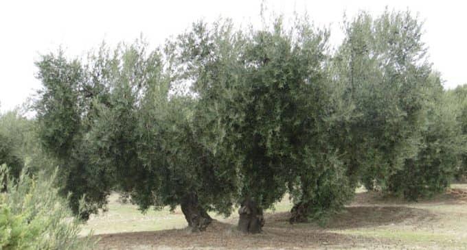 Organizan un curso de poda de olivos