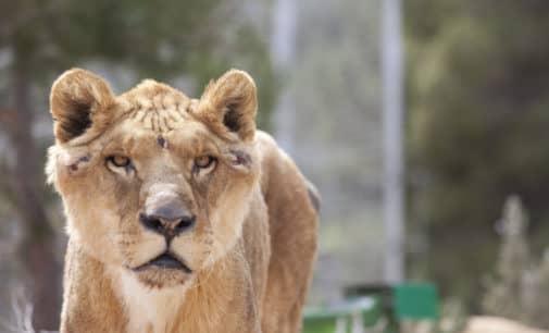 Los animales malheridos del circo que llegaron a la Fundación AAP ya han salido al exterior