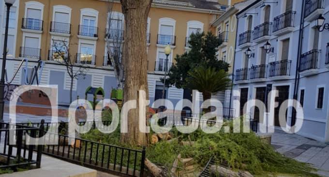 Retiran en Villena cuatro saúces ante el riesgo de derrumbe