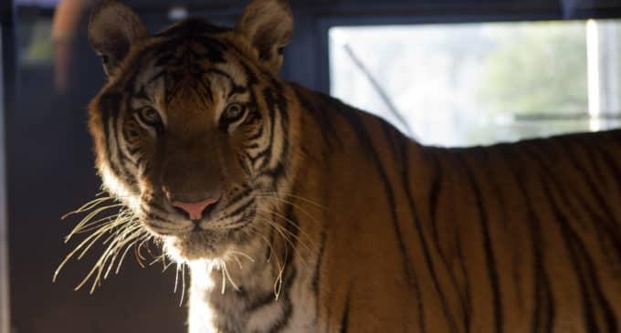 El Reino Unido se prepara para recibir a cinco tigres del centro de rescate AAP Primadomus