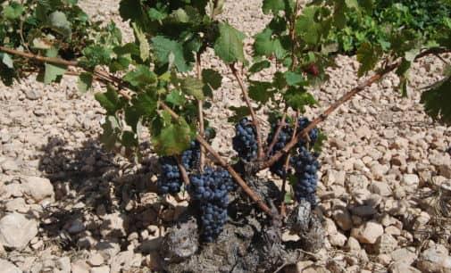 Organizan un curso sobre viñedo ecológico