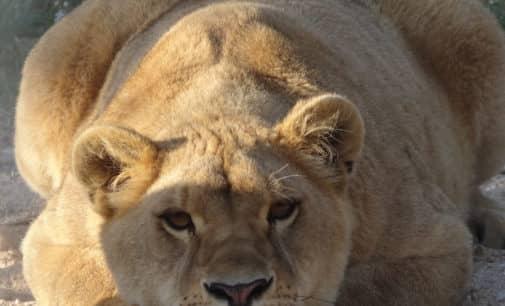 Dos leones, dos infiernos, un final feliz