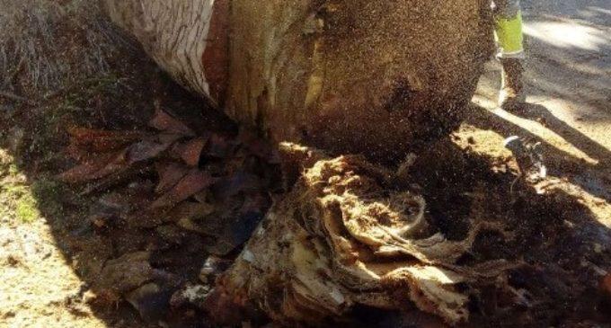 Talan dos palmeras del Teatro Chapí afectadas por hongos y por picudo