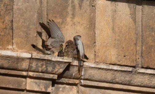 Los cernícalos de la torre de Santa María en Villena