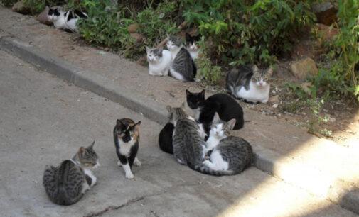 Villena aprueba el primer plan para controlar unas 85 colonias felinas