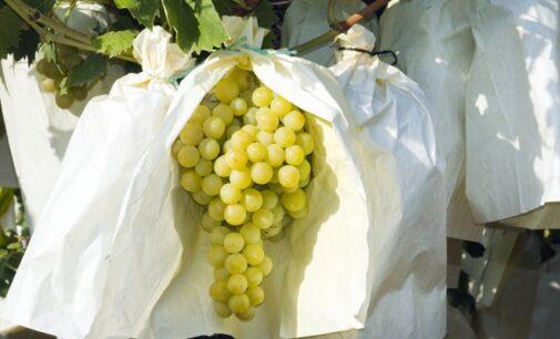 La Unió de Llauradors denuncia que países terceros emplean en su uva de mesa pesticidas prohibidos en la Unión Europea