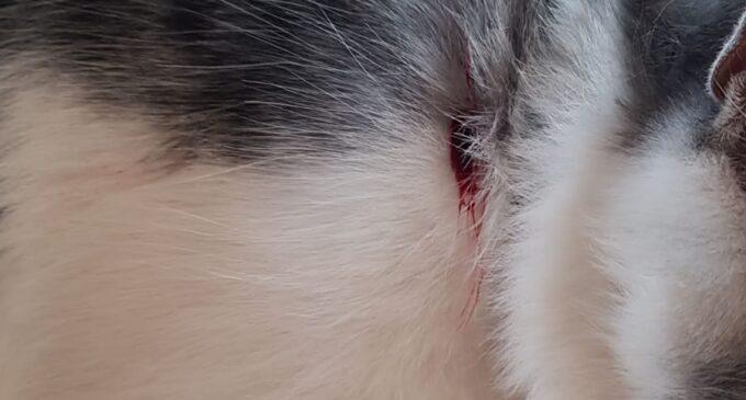 Un vecino de Villena denuncia la agresión a su gato con un arma de aire comprimido