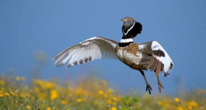 Ecologistas denuncian la destrucción de una zona en Villena donde habitan aves esteparias protegidas
