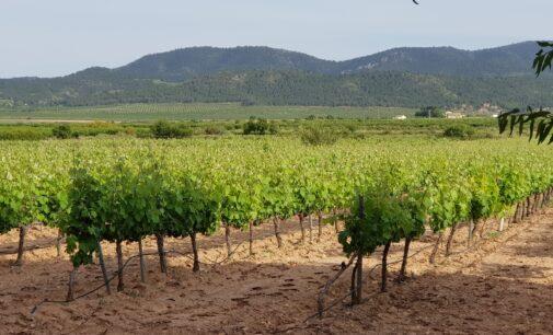 La DOP Alicante y la Ruta del vino defienden los últimos paisajes vitivinícolas de Alicante frente a la fiebre fotovoltáica