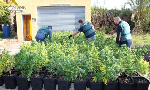 La Guardia Civil incauta 998 plantas de marihuana en una casa de campo de Novelda