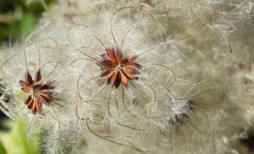 """La """"hierba de los pordioseros"""", Clematis flammula"""