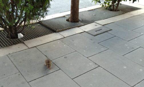 Vecinos de la avenida Constitución denuncian la aparición de roedores