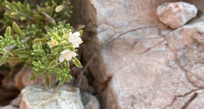 La Sierra de la Villa y la ajedrea o hierba de las olivas, Satureja intricata subsp.gracilis