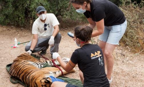 Un hombre deja dos tigres en su herencia